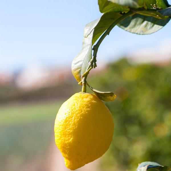 Limón en el árbol