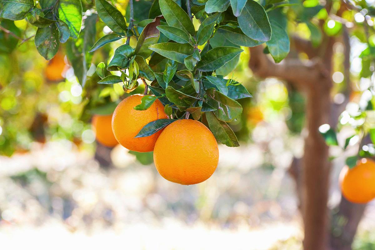 Naranjas de mesa en el árbol